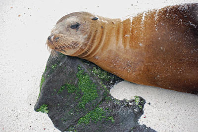 Photograph - Sea Lion On A Rock Pillow by Harvey Barrison
