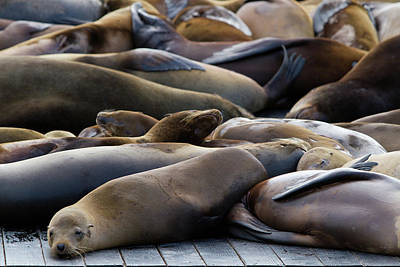 California Sea Lions Photograph - Sea Lions At Pier 39 by Hitesh Sawlani