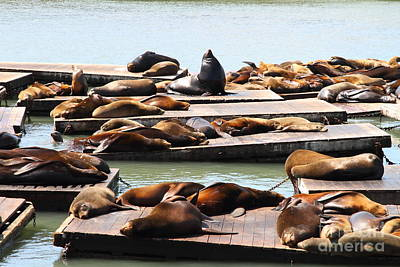 Sea Lions At Pier 39 San Francisco California . 7d14316 Art Print by Wingsdomain Art and Photography