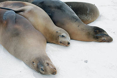 Photograph - Sea Lions Of The Galapagos by Harvey Barrison