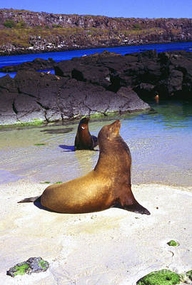 Sea Lions On Genovesa Island Art Print by Thomas R Fletcher