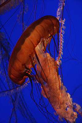 Photograph - Sea Nettle Jellyfish Monterey Bay Aquarium by Benjamin Dahl