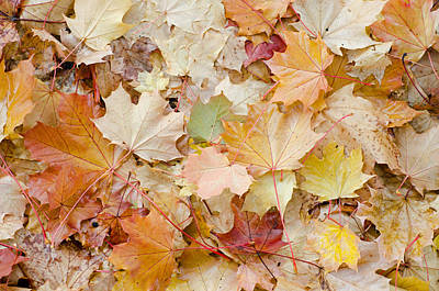 Photograph - Sea Of Leaves by Margaret Pitcher