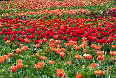 Photograph - Sea Of Tulips by Fran Woods