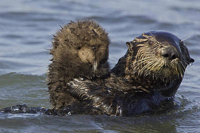 Sea Otter Mother Holding Pup Monterey Art Print