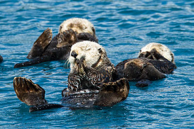 Photograph - Sea Otter Naptime by Adam Pender