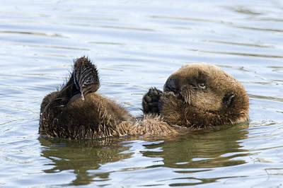 Photograph - Sea Otter Pup Elkhorn Slough Monterey by Sebastian Kennerknecht