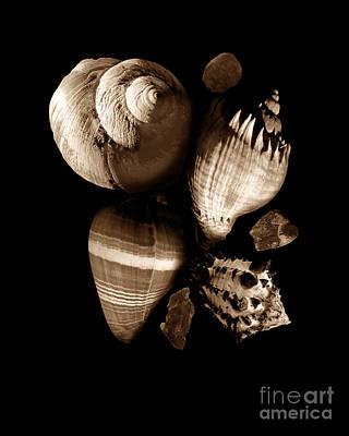 Sea Shells And Stones In Sepia Original