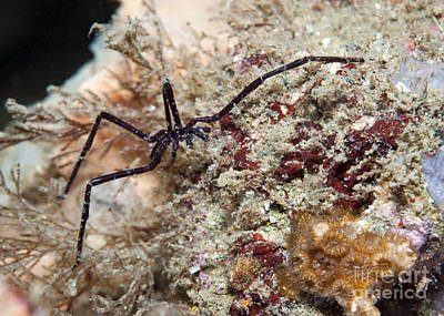 Sea Spider In Atlantic Ocean Art Print by Karen Doody