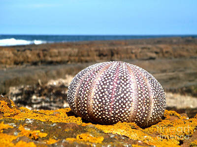 Photograph - Sea Urchin Dunbar by Yvonne Johnstone