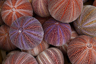 Sea Urchins For Sale At A Shop Art Print
