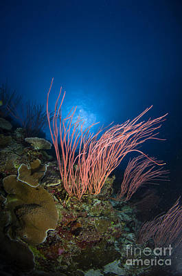 Photograph - Sea Whips And Coral, Australia by Todd Winner