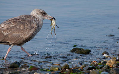 Herring Gull Photograph - Seafood For Breakfast by Karol Livote