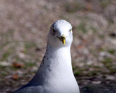 Photograph - Seagul Portrait by Mark J Seefeldt