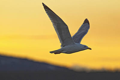 Seagull Flying At Dusk With Sunset Print by Robert Postma