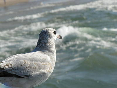 Photograph - Seagull by John Crothers