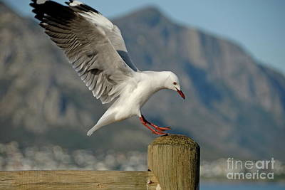 Seagull Landing On Pole Art Print by Sami Sarkis