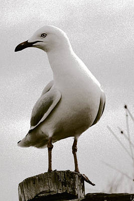 Seagull On Post Art Print