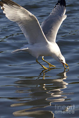 Seagull Photograph - Seagull On Water by Dustin K Ryan