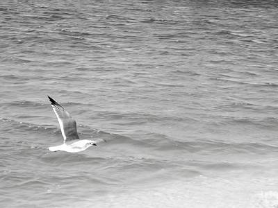 Floyd Smith Photograph - Seagull Over Water by Floyd Smith