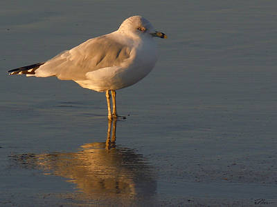 Photograph - Seagull Rests At Dusk by Nancy Griswold