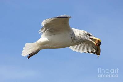 Photograph - Seagull With Snail by Carol Groenen