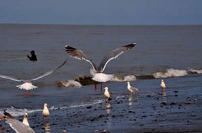 Seagulls Dip Netting  Art Print by Debra  Miller