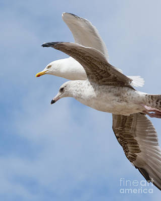 Flying Bird Photograph - Seagulls In Flight by Andrew  Michael
