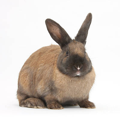 Photograph - Seal-point Rabbit by Mark Taylor