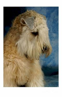 Sealyham Terrier 915 Print by Larry Matthews
