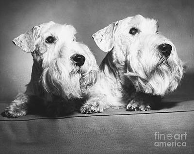 Sealyham Terriers Print by M E Browning and Photo Researchers