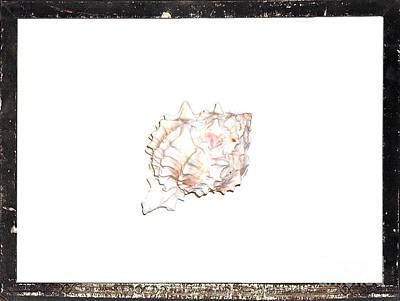 Seashell  C Art Print by Marsha Heiken