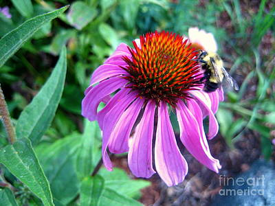 Art Print featuring the photograph Season For Echinacea  by Kathy Bassett