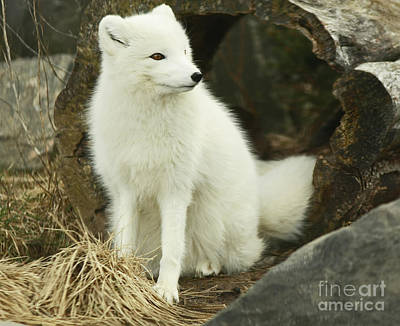 Secret Hide Away- Arctic Fox Art Print by Inspired Nature Photography Fine Art Photography