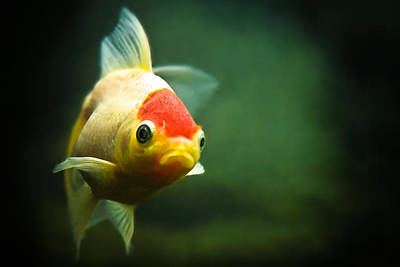 Goldfish Photograph - Secret Life Of Wanda by Tomasz Bobrzynski (tomanthony)