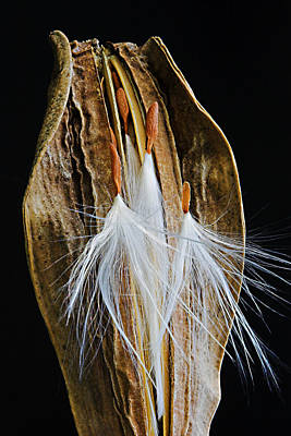 Loose Hair Photograph - Seed Pod-3- St Lucia by Chester Williams