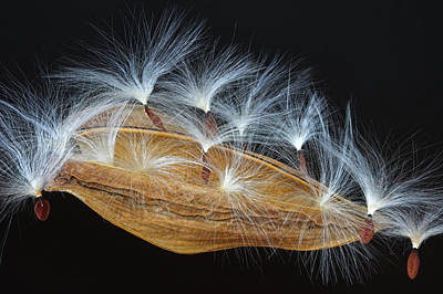 Photograph - Seed Pod-4- St Lucia by Chester Williams