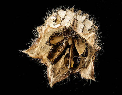 Photograph - Seed Pod by Jean Noren