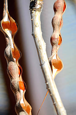Photograph - seedpods I by Diana Douglass