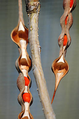 Photograph - seedpods II by Diana Douglass