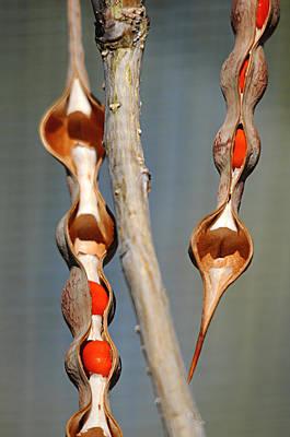 Photograph - seedpods II by Diana Douglass