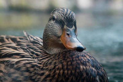 Photograph - Seemingly Smug Duck by Lorraine Devon Wilke