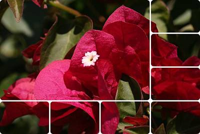 Photograph - Segmented Bougainvillea by Louise Mingua