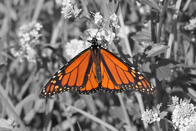 Photograph - Select Color Monarch by Mark J Seefeldt
