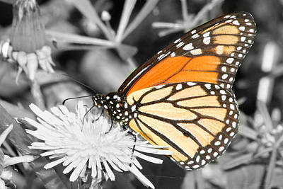 Photograph - Select Color Monarch Profile by Mark J Seefeldt