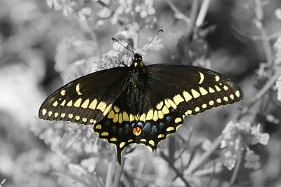 Photograph - Select Color Swallowtail Butterfly by Mark J Seefeldt