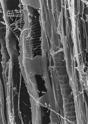 Sem Of Dry Rot In Plywood Print by Creit: Dr Jeremy Burgess