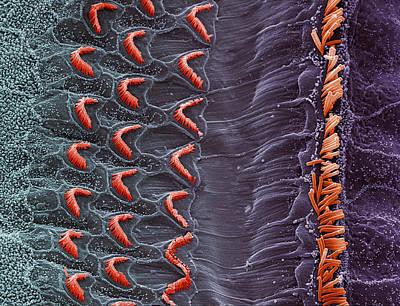 Sem Of Hair Cells Art Print by Steve Gschmeissner