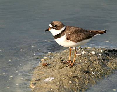 Photograph - Semipalmated Plover by Ira Runyan