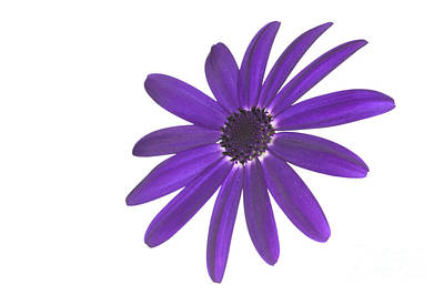Senetti Deep Blue Head Art Print by Richard Thomas